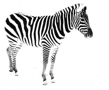 Zebra 免版税图像