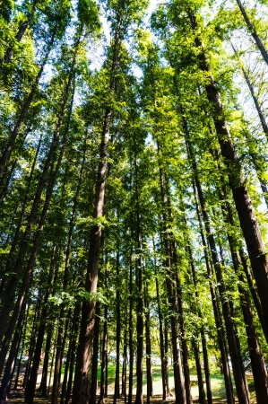 metasequoia: Metasequoia forest at china qingdao