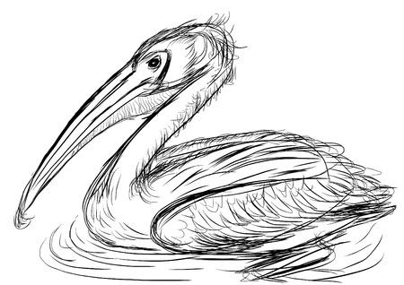 pelecanidae: hand draw bird Pelecanidae cg painting Stock Photo