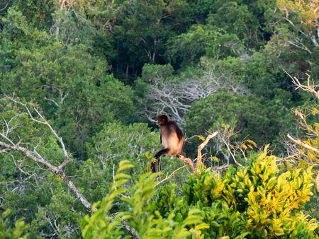 Spider monkey in a tree top, National Park Yaxha, Guatemala