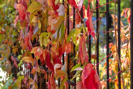 Fence with red, green, and yellow colored clematis leafs