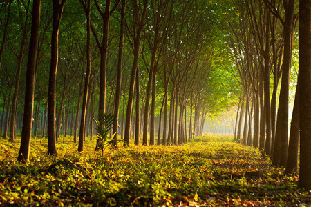 Para rubber tree garden with sunlight Southern of Thailand