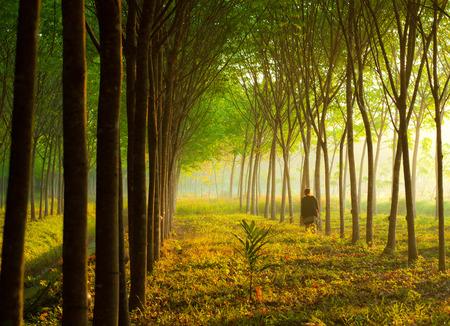 Para Gummibaum Garten mit Sonnenlicht südlichen Thailands