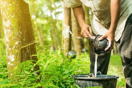 Gummipflanzgefäße werden im Gummibaumgarten in Südthailand geerntet