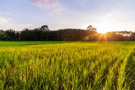 Campo de arroz con amanecer o atardecer y rayos de sol sobre el sol en la luz de la mañana Foto de archivo