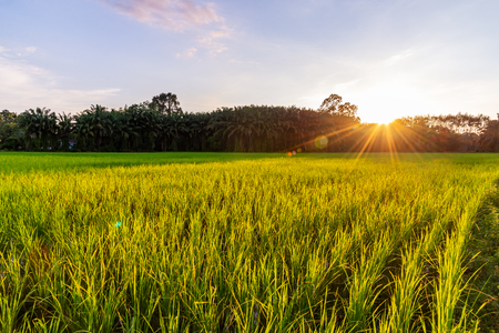 Rice field with sunrise or sunset and sunbeam flare over the sun in morning light Imagens