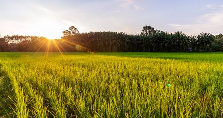 Rice field panorama with sunrise or sunset and sunbeam flare over the sun in morning light