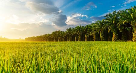 Rice field panorama with sunrise or sunset over the sun in moning light