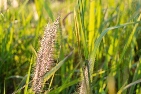 Grass flower in sunlight nature blurred background