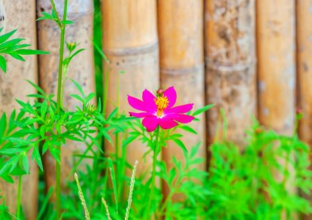 Flower with old bamboo fence in nature background