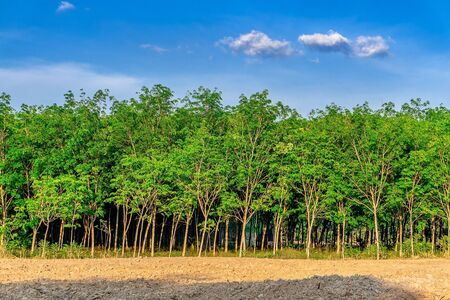 Para rubber tree, latex rubber plantation and tree rubber in southern Thailand Imagens