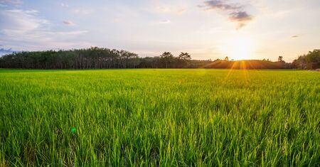 Rice field panorama with sunrise or sunset and sunbeam flare over the sun in morning light, Green field rural countryside Imagens