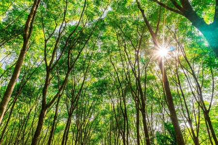 Latex rubber plantation or para rubber tree or tree rubber with leaves branch and sunbeam in southern Thailand