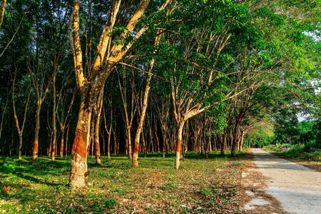 Latex rubber tree plantation or tree rubber in southern Thailand, Para rubber tree garden