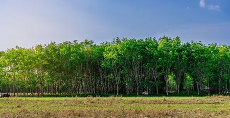 Panorama latex rubber plantation or para rubber tree or tree rubber with leaves branch in southern Thailand 版權商用圖片