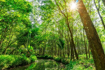 Plantation tree rubber or latex tree rubber or para rubber tree with river and sun ray in southern Thailand
