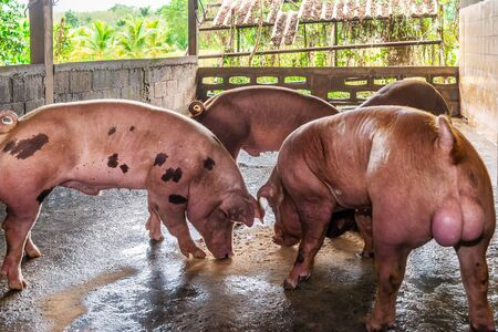 Breeder red pigs on a farm in rural countryside
