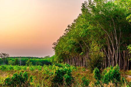 Plantage Latrx Rubber oder Para Rubber Tree oder Tree Rubber mit Blättern Zweig in Südthailand