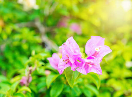 Bougainvillea pink tropical flower with green leaf and sunlight on blurred background, Macro Standard-Bild