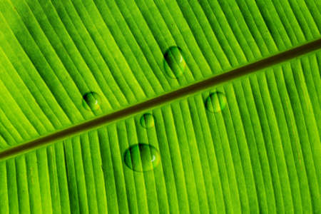 Banana green leaf with drop water texture and pattern of nature Standard-Bild
