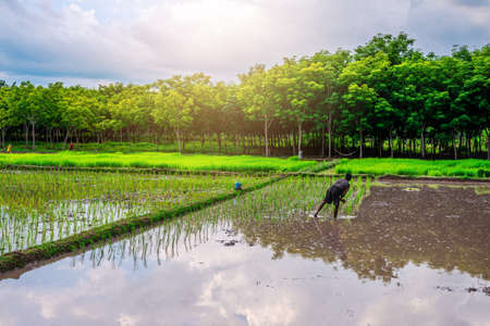 Rice field, Agriculture, paddy, with farmer and sky and cloud rain in evening light