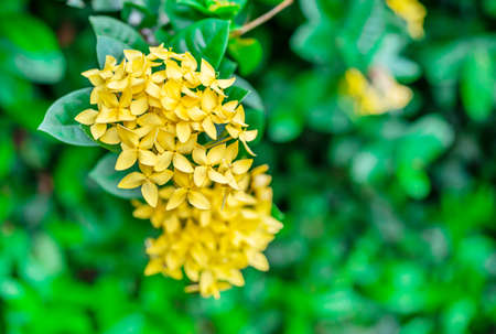 Rubiaceae flower, Medicinal properties, Root, sweet cold taste cure phlegm and cure epilepsy, fix the fire element, fix the disabled eyes, Leaves, nasty taste, is a parasite, Flower, sweet and cold taste cure eye disease. Standard-Bild