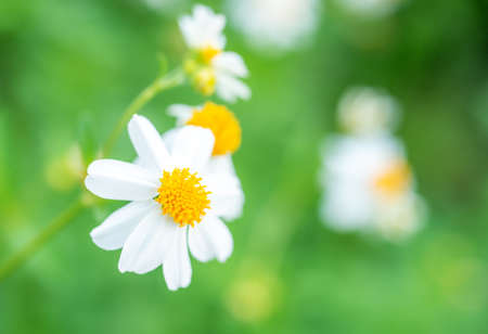 Cosmos bipinnatus is considered a half-hardy annual, Cosmos flower white on blurred background, Selective focus, Macro Standard-Bild