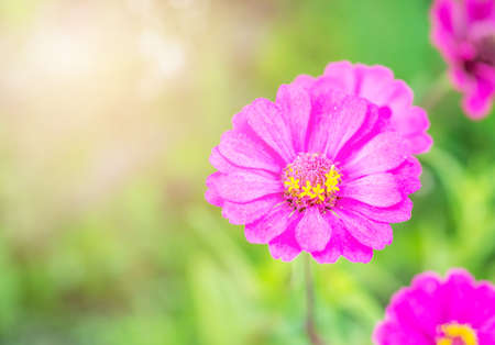 Gerbera or daisy, Flower purple color with sunlight on blurred green nature background, Selective focus, Macro Standard-Bild