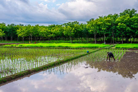 Pattalung, Thailand - Aug 29, 2020 : Rice field, Agriculture, paddy, with farmer and white cloud and blue sky Editorial