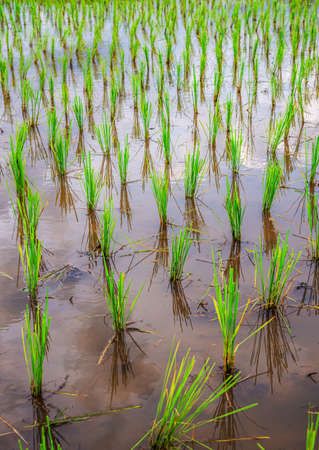 Rice seedlings are beautifully lined up in the water waiting to grow. Standard-Bild
