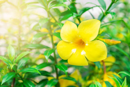 Caesalpinia flower on blurred green leaf background, Caesalpinia is a genus of flowering plants in the legume family
