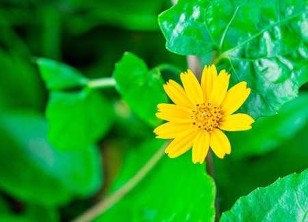 Yellow flower Name Jacobaea vulgaris or Senecio jacobaea, Tropical flower on blurred green nature and bokeh background, Macro