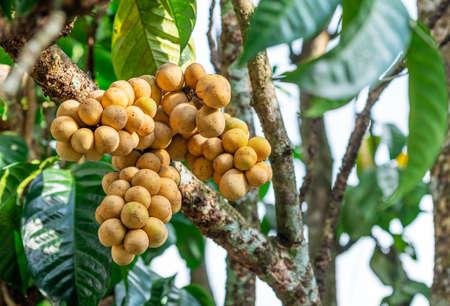 Lasium Demesticum, (Name thai Longkong) on tree blurred background, Macro 免版税图像