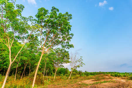 Latex rubber plantation or para rubber tree or tree rubber in southern Thailand