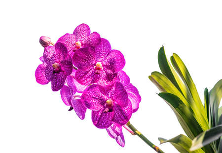 Orchid, Vanda sanderiana, considered, As the Queen of Philippine, Orchid flowers isolated on white background, Macro 免版税图像