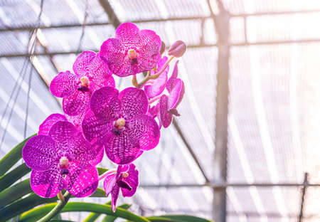 Orchid, Vanda sanderiana, considered, As the Queen of Philippine, Orchid flowers, on blurred, nature background, Macro