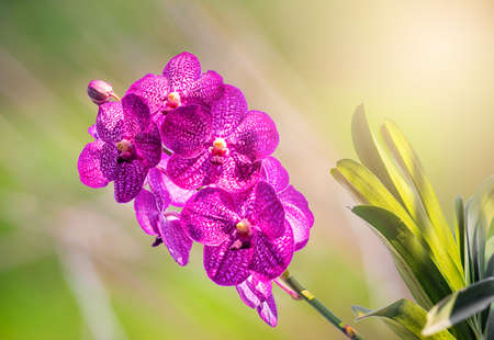 Orchid, Vanda sanderiana, considered, As the Queen of Philippine, Orchid flowers on blurred green nature background, Macro