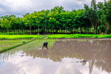 Pattalung, Thailand - Aug 29, 2020 : Rice field, Agriculture, paddy, with farmer and white cloud and blue sky 新闻类图片