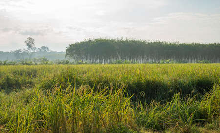 Rice field, Agriculture, paddy, with sky and cloud and mist in morning light