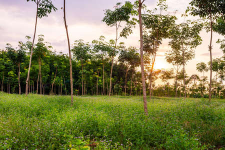 Latex rubber plantation or para rubber tree or tree rubber garden with leaves branch in southern Thailand Banque d'images