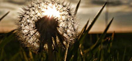 Diente de leon plant on sunset Banco de Imagens