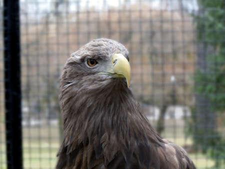 closeup of an eagle