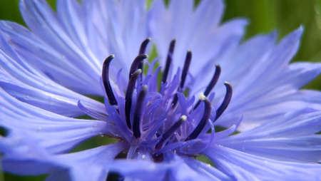 blue daisy: Blue Daisy detail with green  Stock Photo