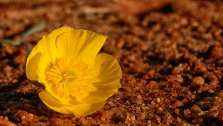 abandonment: Macro yellow flower lying on a dirt floor brown Stock Photo