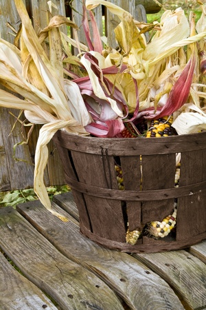 freshly harvested American Indian corn in a basket photo