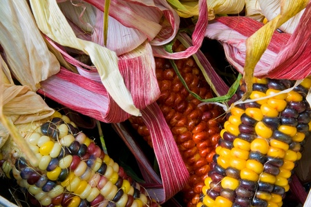 close up of freshly harvested American Indian corn in a basket photo