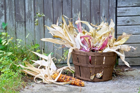 freshly harvested American Indian corn in a basket in front of a barn photo