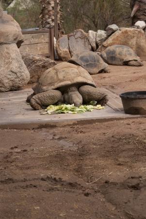 Tortoise eating greens