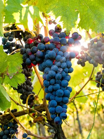 Backlit Grapes in Vineyard Imagens