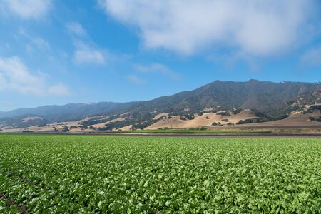 A field of lettuce in the Salinas Valley of central California in Monterey County